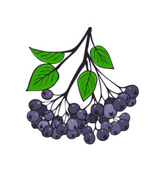 Isolated branch black ashberry with foliage vector