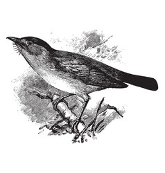 European pied flycatcher vintage vector