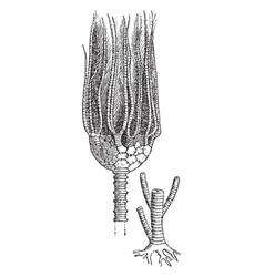 Actinocrinus vintage vector