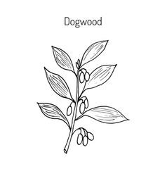Branch of dogwood plant vector
