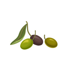 black and green fresh olives vector image