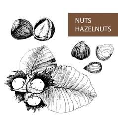 Nuts Hazelnuts vector image