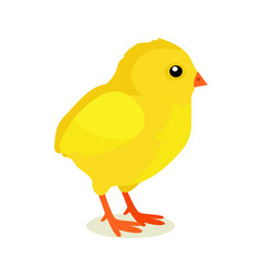 spring yellow chicken isolated on white background vector image