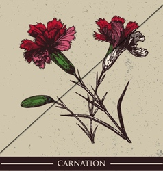 Carnation vector