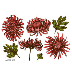 Set hand drawn colored aster vector