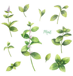 watercolor set of mint branches isolated on vector image
