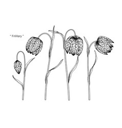 Fritillary flower drawing vector