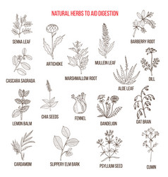 Herbal remedies for aid digestion vector