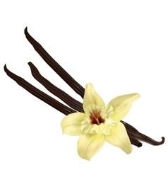 Vanilla pods isolated vector