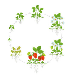 strawberry plant growth stages round life cycle vector image