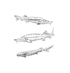 Fish sturgeon hand drawn set vector