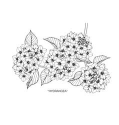 Hydrangea flower drawing vector