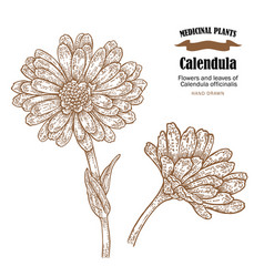 Calendula plant flowers ans leaves vector