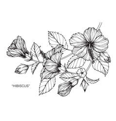 Hibiscus flower drawing vector