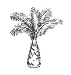 palm tree sabal minor miami palmetto ink vector image