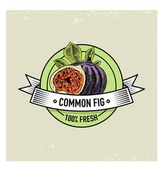 Common fig vintage hand drawn fresh fruits vector