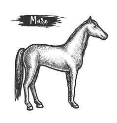 vintage horse sketch or mare with mane vector image