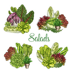 farm salads or leafy lettuce vegetables vector image