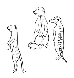 Hand drawn meerkats sketch vector