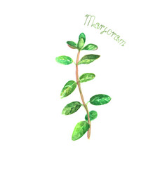 Marjoram herb spice isolated on white background vector