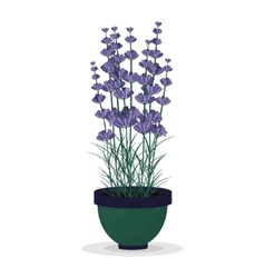 Lavender in a pot isolated on white background vector image