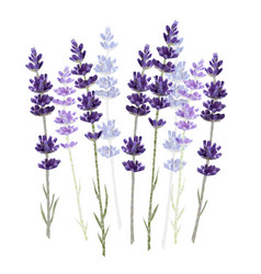 Lavender isolated on white background vector