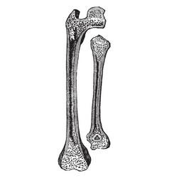 Thigh bone and arm bone vintage vector