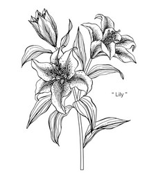 lily flower drawing vector image