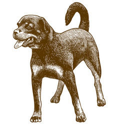 engraving antique rottweiler dog vector image