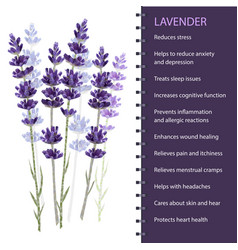 lavender isolated on white background vector image