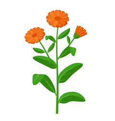 Calendula officinalis healing flower vector