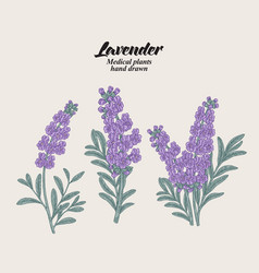 hand drawn lavender branches with leaves and vector image