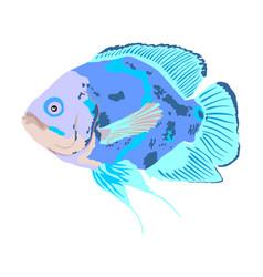 Oscar fish isolated on white vector
