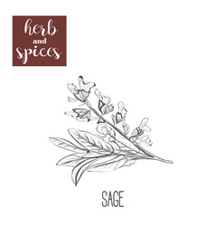 sage hand drawing herbs and spices vector image
