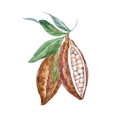 Watercolor cacao fruits vector