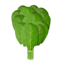 bunch spinach leaves vector image