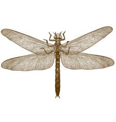 Engraving dragonfly meganeura vector