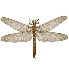Engraving of dragonfly meganeura vector