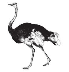 Ostrich vintage vector