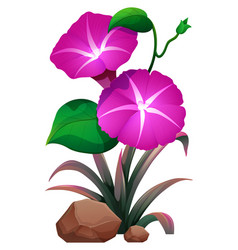 Pink morning glory and rocks on white background vector