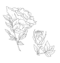 set detailed isolated outline rose bud vector image