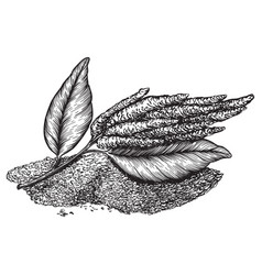 Drawings amaranth flowering plants and seeds vector