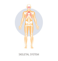 Skeletal system human anatomy isolated anatomical vector