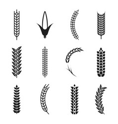 wheat ears icons oat and wheat grains corn icon vector image vector image