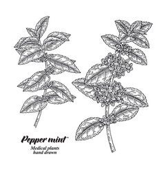 Pepper mint branch with leaves and flowers vector