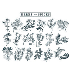 herbs and spices set hand drawn officinalis vector image