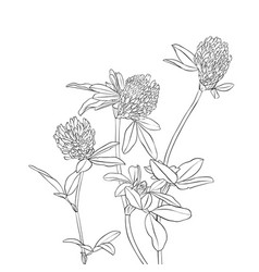 Drawing clover flowers vector