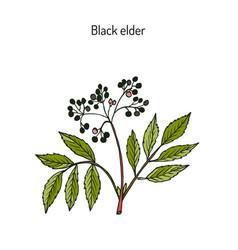 black elder medicinal plant vector image
