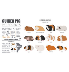 Guinea pig breeds infographic template icon set vector