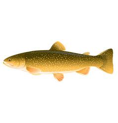 Lake trout fish vector